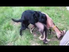 Perro de acoplamiento cabra divertida