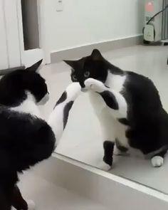 How Cute Cat acting is funny video - Gatos - Animal Cute Funny Animals, Cute Baby Animals, Funny Dogs, Funny Humor, Cats Humor, Cat Memes, Funny Horses, Crazy Animals, Wild Animals