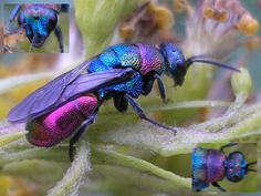 """The cuckoo bee. Shiny, metallic blue or green, with a detailed surface all over their body. They usually don't sting, and are a type of parasitic wasp.    Their larvae are ectoparasites (external parasites) of other bee and wasp larvae. The name """"cuckoo wasp"""" comes from the fact that this insect, like the cuckoo bird, lays her eggs in the nest of an unsuspecting host."""