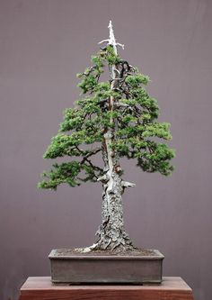 The Art of Bonsai Project - Feature Gallery: The bonsai art of Walter Pall