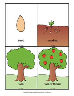 Life-cycle of an apple tree