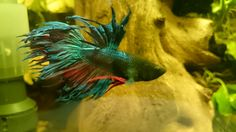 Crowntail male betta