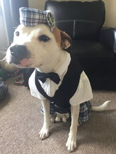 "Handsome boy! - A dog named Bailey found fame online recently after his engaged owner posted a photo of him getting fitted in a traditional kilt getup for his wedding (the owner's, not Bailey's). ""I get married soon and I couldn't have wedding pics taken without the pup!"