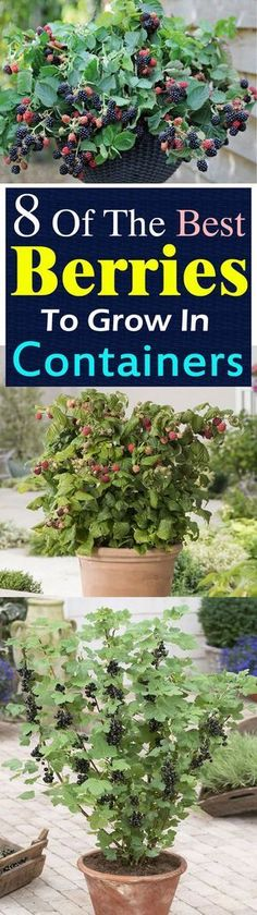 Gardening Want to grow berries? But what to do if you don't have space to plant them? Growing berries in containers is the answer! - Want to grow berries? But what to do if you don't have space to plant them? Growing berries in containers is the answer! Fruit Garden, Edible Garden, Garden Plants, Garden Web, Garden Design, Veggie Gardens, Strawberry Garden, Tropical Garden, Outdoor Potted Plants