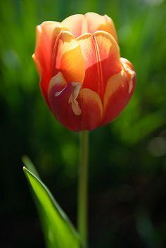 Beautiful Red & Yellow Tulip