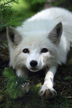 Snow fox adult