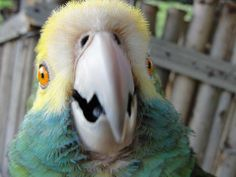 "Help Echo win $28,000 for Bonaire's Parrots! Go to http://tinyurl.com/bonairevote and vote for ""Parrots and People; Trees and Trails, Bonaire"". Contest ends on 31 March 2014!  © Echo"
