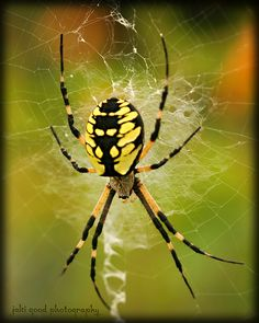 Argiope aurantia (black and yellow garden spider) - we have one of these on a giant web on our back door right now