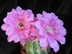 Echinopsis Schick 'Crepe Crusader'