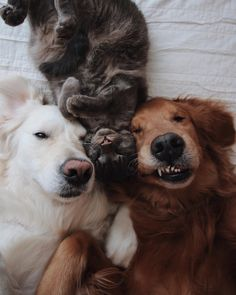 Top 7 Cat-Friendly Dog Breeds to Adopt - Anything Kitty Funny Animal Pictures, Cute Funny Animals, Funny Dogs, Cute Cats, Cute Puppies, Dogs And Puppies, Doggies, Animals And Pets, Baby Animals