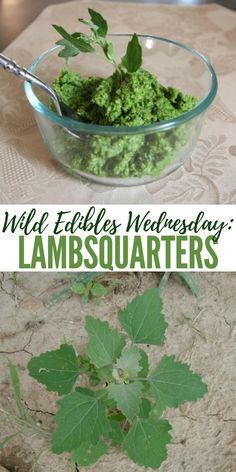 Wild Edibles Wednesday: Lambsquarters - This article talks about one of the most tasty wild edibles Medicinal Weeds, Edible Wild Plants, Herbs For Health, Wild Edibles, Survival Food, Healing Herbs, Growing Herbs, Just In Case, Herbalism