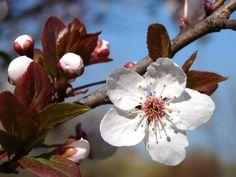Papel de Parede - Flor de Ameixeira