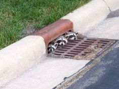 Keep an eye open for racoon babies.  They can pop up anywhere!