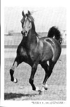 Bask.....He was one of the greats in Arabian bloodlines......