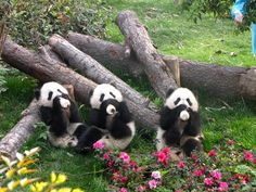 I think i just died of extreme cuteness.cute pandas drinking milk from the bottle Niedlicher Panda, Panda Love, Panda China, Hello Panda, Cute Baby Animals, Animals And Pets, Funny Animals, Wild Animals, Farm Animals