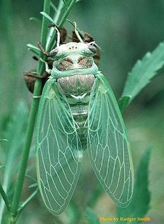 This newly emerged cicada, Tibicen auletes, sings almost exclusively at dusk and…