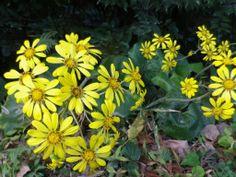 2013年11月22日 つわぶきの花 この時季 山間部の土手や道脇で鮮やかな黄色が目立ちます。