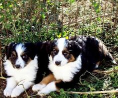 I want an English shepherd puppy so much! I can't wait until I live somewhere where I can get one!