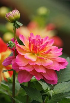 Shade Garden Flowers And Decor Ideas Dahlia Exotic Flowers, Amazing Flowers, My Flower, Colorful Flowers, Flower Power, Beautiful Flowers, Dahlia Flowers, Beautiful Beautiful, Flower Farm