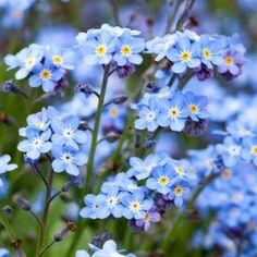Hemelsblauwe vergeet-mij-nietjes.