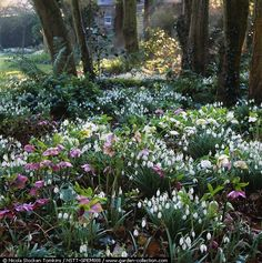 snowdrops and hellebores. Small, 25-year-old woodland planted with birch, alder, beech, chestnut, witch hazels, field maple, hellebores and drifts of snowdrops, naturalised over the years. Paths - Pembury House