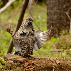 Birds make nature's most beautiful and complex sounds. But have you ever wondered what they're saying with their songs and calls?  We're as delighted as a ruffed grouse with our new Language of Birds site, which presents a variety of our sound recordings to illustrate why and how birds communicate.  www.bl.uk/the-language-of-birds