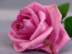 Most Beautiful Pink Yellow Rose Flowers Wallpapers Laptops or . Yellow Roses, White Roses, Red Roses, Pink Flowers, Flowers Pics, Purple Rose, Magenta, Beautiful Pink Roses, Amazing Flowers