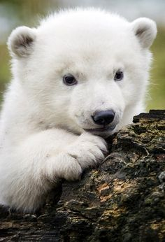 Baby animals, animals and pets, scary animals, cute animals, polar bear Tiny Baby Animals, Baby Animal Videos, Animals And Pets, Scary Animals, Baby Videos, Wild Animals, Bear Pictures, Cute Animal Pictures, Pictures Of Polar Bears