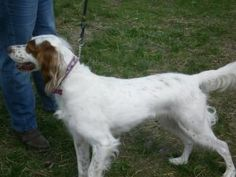 Lacy 4yr is an adoptable English Setter Dog in Hazel Park, MI. Lacy is a 4yr female, spayed English Setter. She is very good with other dogs and is an all around lovable girl! ENERGY ENERGY ENERGY.......