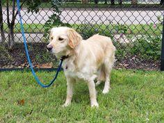 SHENANDOAH-15-033 | F | 2 YRS - Mix — Golden Retriever Rescue of North Texas Golden Retriever Rescue, Dog List, Dog Pictures, Texas, Fur, Dogs, Animals, Animais, Animales