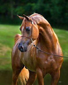 Marwan Al Magnifficoo  #arabian #horse #arabianhorse #arabianhorses,