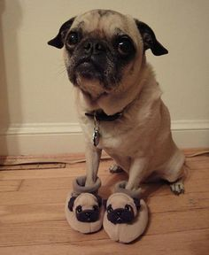 Pugs stick together. @Maggie Mansch-Steffen