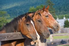 Three curious horses lined up in a row at the fence in summer sunlight, American quarter horses.