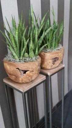 Sanseveria in mooie houten schalen