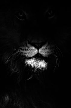 king of the jungle | black | darkness | noir | majestic | roar | whiskers | big cat | lion |