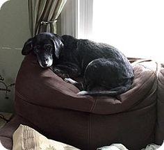 Sharon Center, OH - Beagle/Labrador Retriever Mix. Meet Pip, a dog for adoption…MAGGIE'S MISSION
