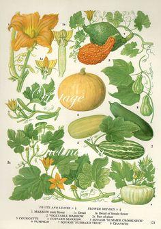 Vintage Botanical Print Antique PUMPKIN, MARROW, plant print botanical print, bookplate art print, vegetables plants plant wall