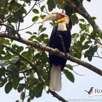 Wreathed Hornbill (male) by Markus Lilje