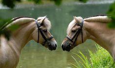 Norwegian Fjord horses - from Portfolio Paardenfoto's « Hypo Focus Paardenfotografie Most Beautiful Horses, All The Pretty Horses, Animals Beautiful, Cute Animals, Pony Breeds, Horse Breeds, Baby Horses, Draft Horses, Fjord Horse