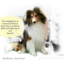 Ch Kell Right Now (Breeders: Kell Shelties/Owner: Fairbrook Shelties) #shelties #shetlandsheepdogs #conformation #dogshows