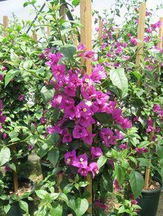 Advice on everything gardening Bougainvillea Trellis, Wisteria Garden, Tropical Landscaping, Tropical Garden, Backyard Landscaping, Tropical Fruits, Landscaping Ideas, Backyard Ideas, Front Yard Flowers
