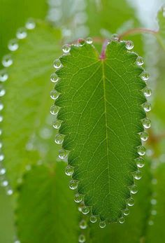Often mistaken as dew, the droplets seen here are formed as a result of Guttation, the exudation of water from leaves as a result of root pressure.