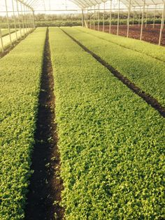 Baby Leaf lettuce organic cultivation in greenhause.