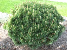 Dwarf mugo pine, 3 x 4. This is a dwarf, low-growing, spreading pine. Nice dark green, stiff needles that are 2-3 inches long. Very tolerant - can handle poor, rocky, dry, windy conditions. Widely used in foundation plantings. Extremely hardy, with a superb growth habit that requires no maintenance at all.