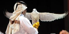 Qatar | 4th Qatar International Falcon & Hunting Festival. view on Fb https://www.facebook.com/SinbadsQatarPocketGuide credit: Gulf Times #qatar