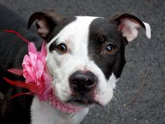 SAFE ! 11/17/13 Manhattan Center  BELLA  A0984541  FEMALE, BLACK /WHITE   AM PIT BULL TER MIX   STRAY 11/09/13  @ 1 YR OLD JUST A BABY!!!  Rather thin & might not have seen a daily meal. A little tense & timid at first, warms up quickly. Affectionate, likely house trained. Loves to chase tennis ball & birds. SHE ACED HER BEHAVIOR EXAM!!! Bella is a cute, small young dog, friendly, sociable, dreaming to start her debuts as a beloved forever friend...in your hands..and in your home!