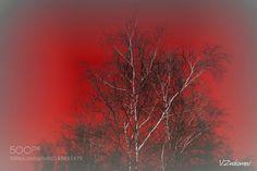 Birch by v_znakomov. @go4fotos