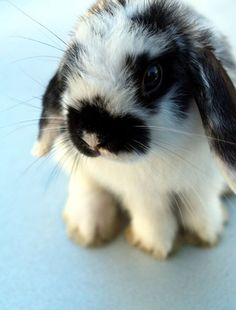 I adore bunnies...and I miss mine. This Holland Lop is adorable!