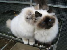 The friendly, laid back Birman is a perfect choice for families with children and cat-friendly dogs.