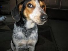 MICHIGAN ~ Dingo is an #adoptable #Beagle #BlueTickCoonhound blend #hound #dog in #Kentwood, MI Meet Dingo - Dingo was found as a stray. He is a sweet dog and is good with kids and the first  ... ...Read more about me on @Petfinder.com.com